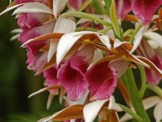 Nun Orchid Care Tips Phaius Tankervilleae