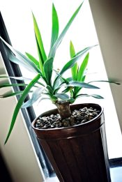 office plant, dracaena
