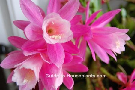 orchid cactus, orchid cactus care