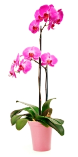 phalaenopsis orchid, phalaenopsis orchid care, moth orchid, growing orchids