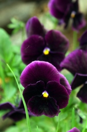 purple pansies, how to grow pansies, growing pansies