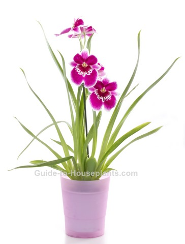 miltoniopsis orchids, pansy orchid, indoor orchid care, orchid houseplant