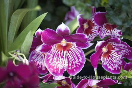 pansy orchids, fragrant houseplants, fragrant orchids