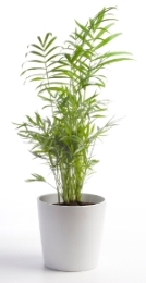 parlorpalm Palm Tree Types Of Houseplants on types of indoor palms, types of bamboo houseplants, common palm houseplants, types of trees in florida, types of lily houseplants,