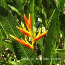 Tropical rainforest plants, parrot flower, parrot plant