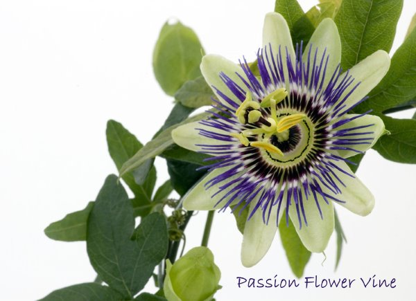 passion flower, passion vine, exotic houseplant