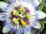 passion flower vine, perennial flowering vine, tropical vine