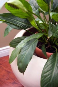 peace lily, spatheflower, spathiphyllum, office plant