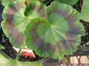 geranium care, growing geraniums, perennial geraniums, zonal geranium