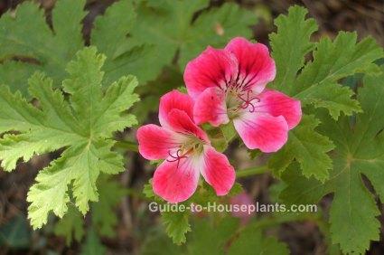 Scented geranium, scented pelargonium, fragrant houseplant