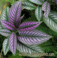 persian shield, persian shield plant, strobilanthes dyerianus