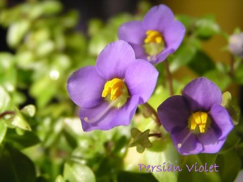 persian violet, exacum affine