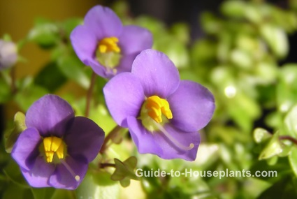 persian violet, exacum affine, fragrant house plant