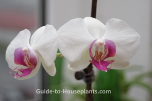 phalaenopsis orchids, growing orchids indoors