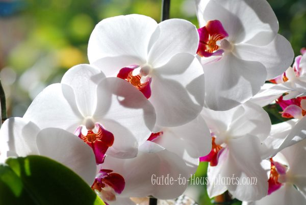 phalaenopsis orchid care, phalaenopsis, growing orchids indoors
