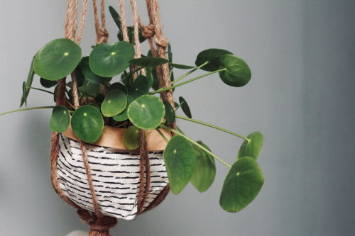 Chinese Money Plant Pilea Peperomioides 25 seeds