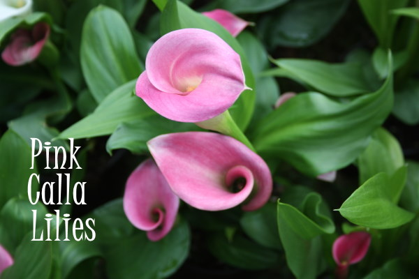 Pink Calla Lily Plant Care Zantedeschia Rehmannii