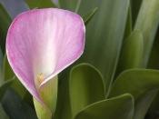 pink calla lily