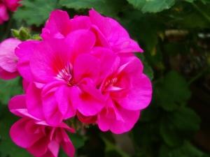 geranium care, growing geraniums, geranium plants, perennial geranium