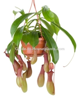 pitcher plant care, tropical pitcher plant, carnivorous pitcher plant