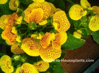 pocketbook plant, calceolaria