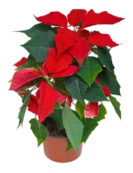 poinsettia, euphorbia pulcherrima, flowering house plants