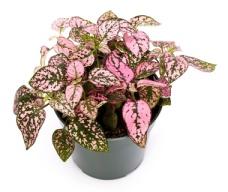 polka dot plant, hypoestes phyllostachya, freckle face plant