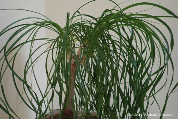 Ponytail Palm Care Tips Beaucarnea Recurvata