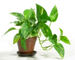pothos Hanging houseplant for low light areas