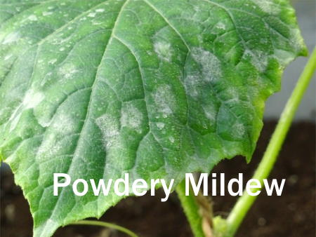 powdery mildew, powdery mildew on plant leaf