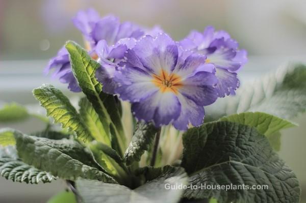 primrose flowers, primrose plant, growing primrose, flowering house plant