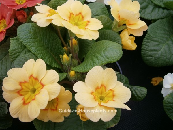 primrose flowers, primrose plant, growing primrose, primrose houseplants, indoor flowers
