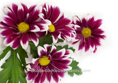 Florist Chrysanthemum Care How To Grow Chrysanthemum Morifolium