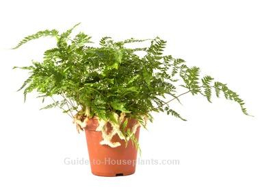 rabbit foot fern, rabbits foot fern, rabbit foot fern care, indoor ferns
