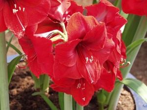 amaryllis bulbs, amaryllis flower