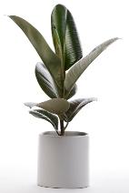 rubber plant, ficus elastica, common house plants