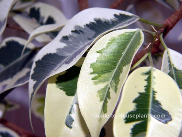 rubber plant, ficus, common house plants