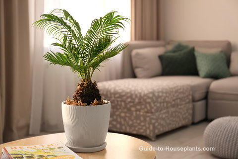 Sago Palm Tree Care Tips Pictures Cycas Revoluta