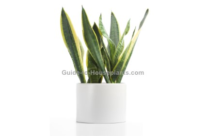 sansevieria, mother-in-law's tongue, snake plant