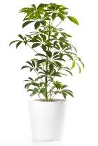 schefflera, umbrella tree, common house plants