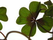 Shamrock Plant Oxalis Species Picture Care Tips