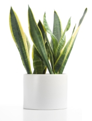 Snake Plant Mother In Law S Tongue Sansevieria Common House Plants