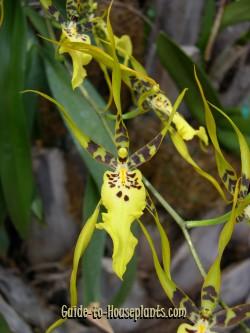 spider orchid, brassia, brassia orchid