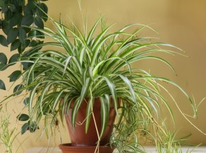 Spider Plant, common house plant, houseplant