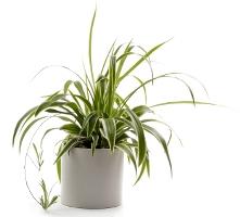 spider plant, airplane plant, chlorophytum comosum, indoor gardening, indoor house plants