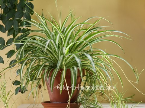 spider plant, spider plant care, airplane plant, chlorophytum comosum
