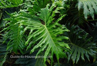 big leaf house plants pictures