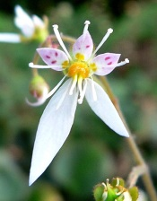 strawberry begonia, saxifraga stolonifera