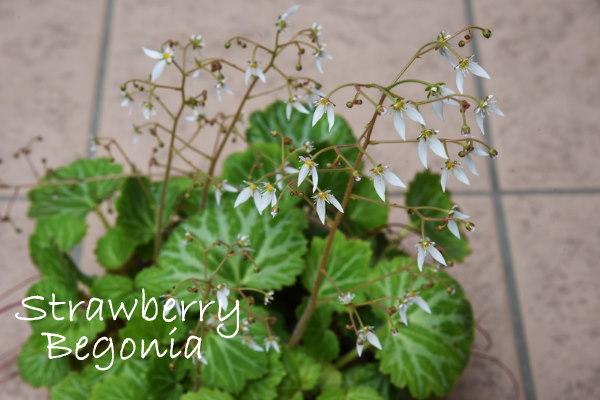 Strawberry Begonia House Plant Care Saxifraga Stolonifera