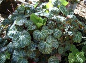 strawberry begonia, saxifraga stolonifera